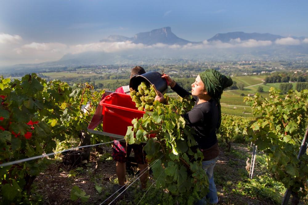 Vendanges à Chignin - vins de Savoie